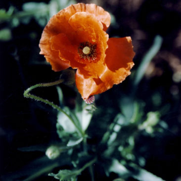 Flanders Poppy or Corn Poppy